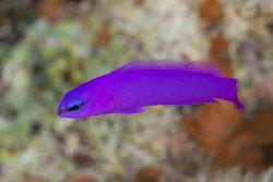 BD-100924-Fury-Shoal-2266-Pseudochromis-fridmani.-Klausewitz.-1968-[Orchid-dottyback].jpg